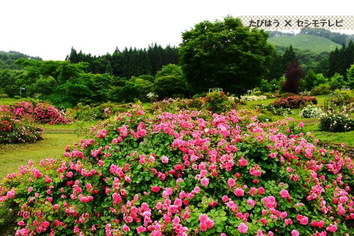 青森県の花の名所