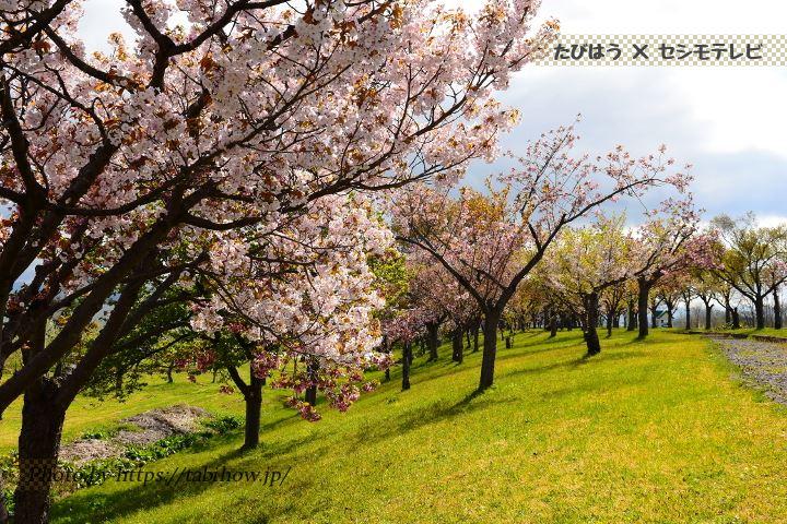 城北桜づつみ公園の早桜、河津桜