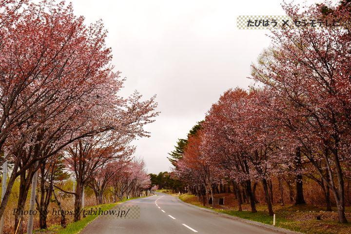 世界一の桜並木の桜