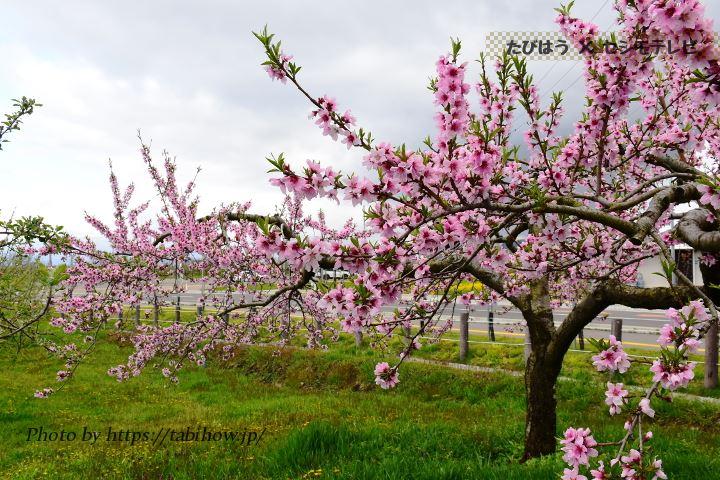 南部町高瀬地区の桃