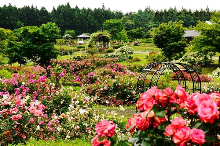 東八甲田ローズカントリーの春バラ