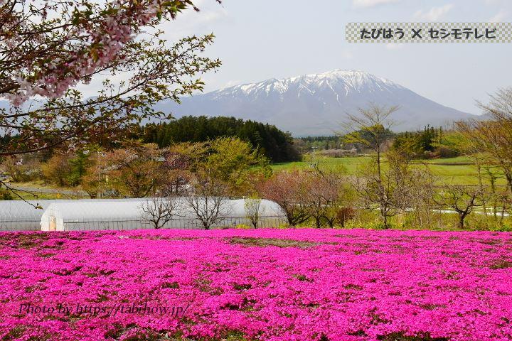 花工房らら倶楽部の芝桜