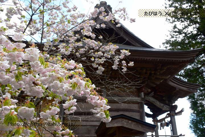 大嶋神社の桜