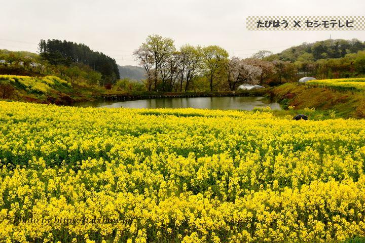 三本木ひまわりの丘の菜の花