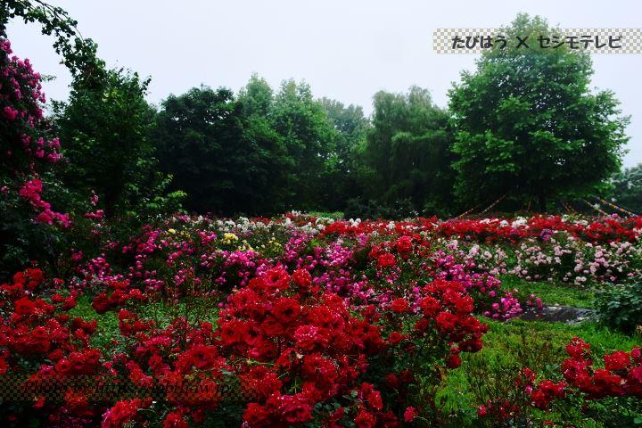 やくらいガーデンの春バラ