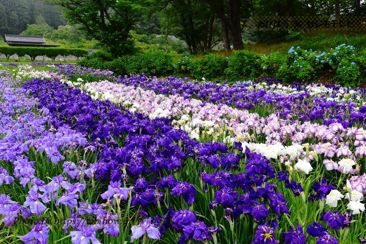 多賀城跡あやめ園の花しょうぶ
