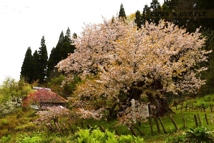 かすみ温泉の桜