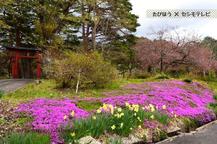 生保内公園の芝桜