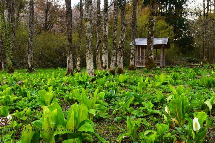 刺巻湿原のミズバショウ