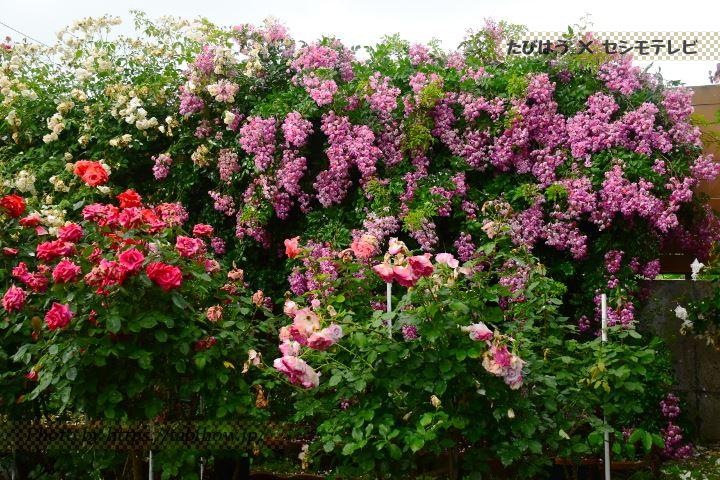 石田ローズガーデンの春バラ
