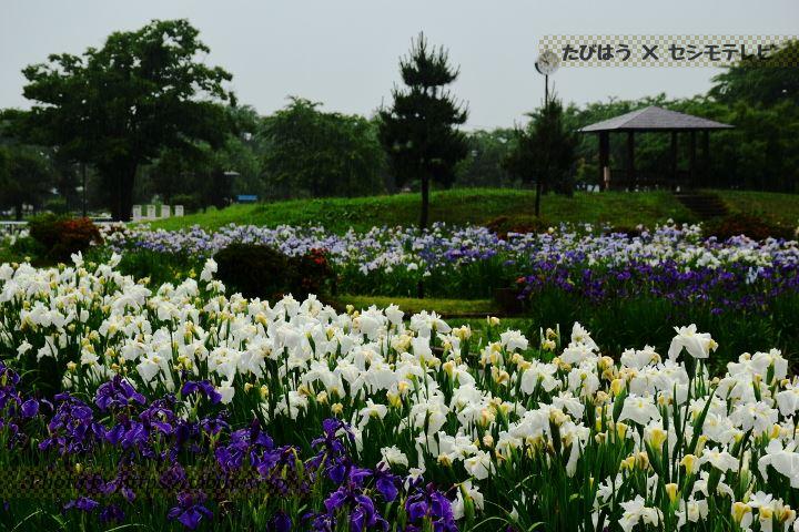 浅舞公園の花しょうぶ