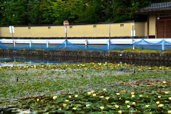花見町古堤のスイレン