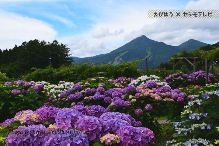 福島県のあじさい