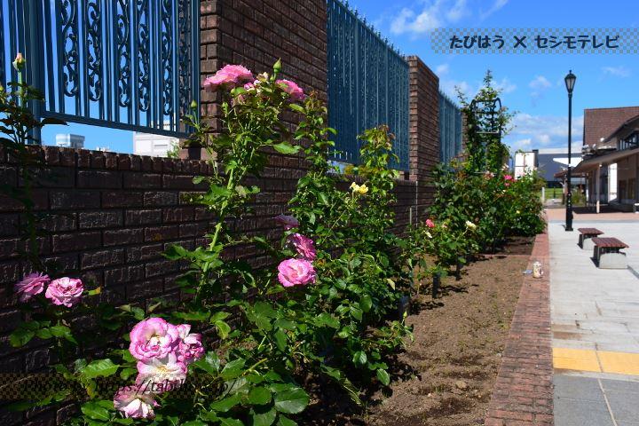 猪苗代ハーブ園の春バラ