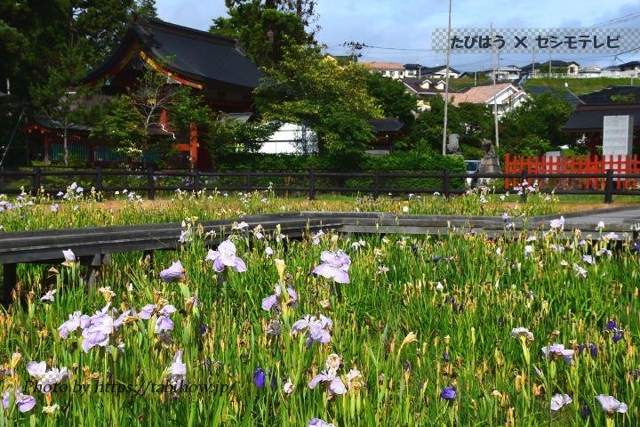 大鏑矢神社の花しょうぶ