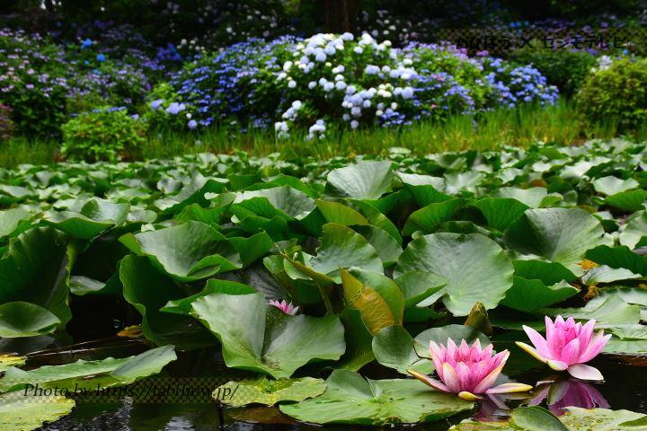四季の里郡山緑水苑のスイレン