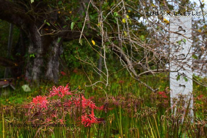 戸津辺の桜の彼岸花
