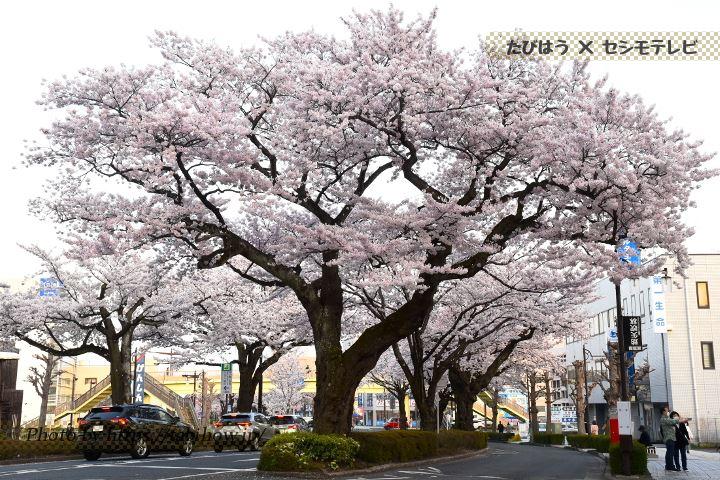 古河総合公園の桜