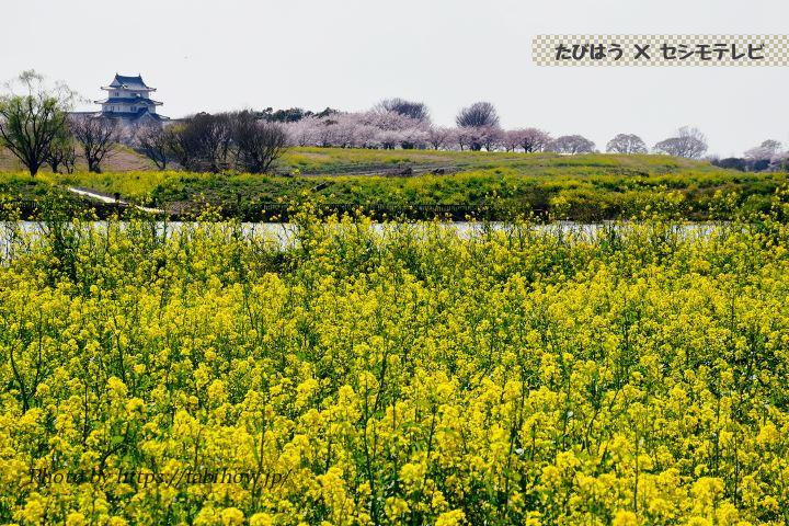 境リバーサイドパークの菜の花
