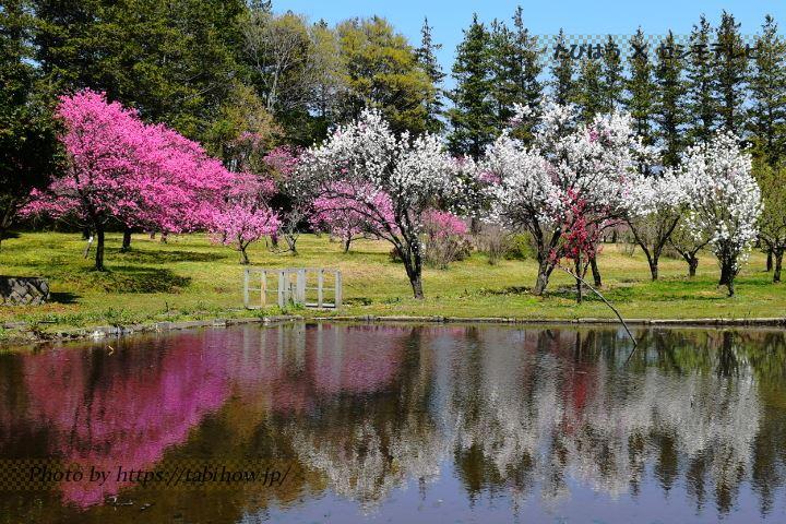 古河総合公園の桃
