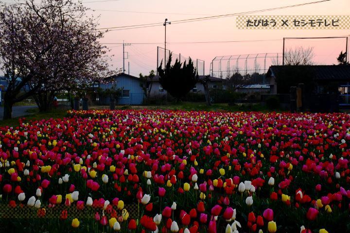 和田公園のチューリップ