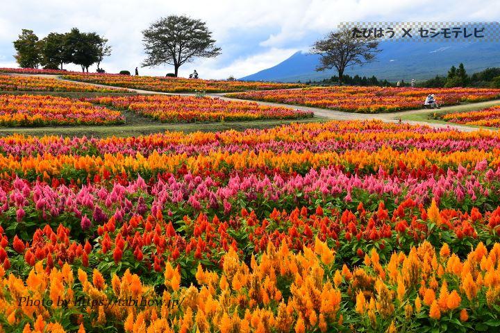 栃木県のサルビア