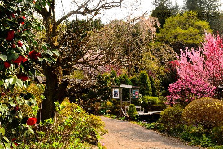 大柿花山の椿