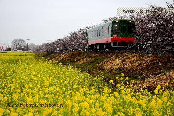 北真岡駅の菜の花