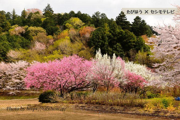 大柿花山の桃