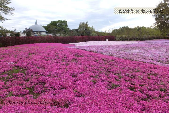 東武トレジャーガーデンの芝桜