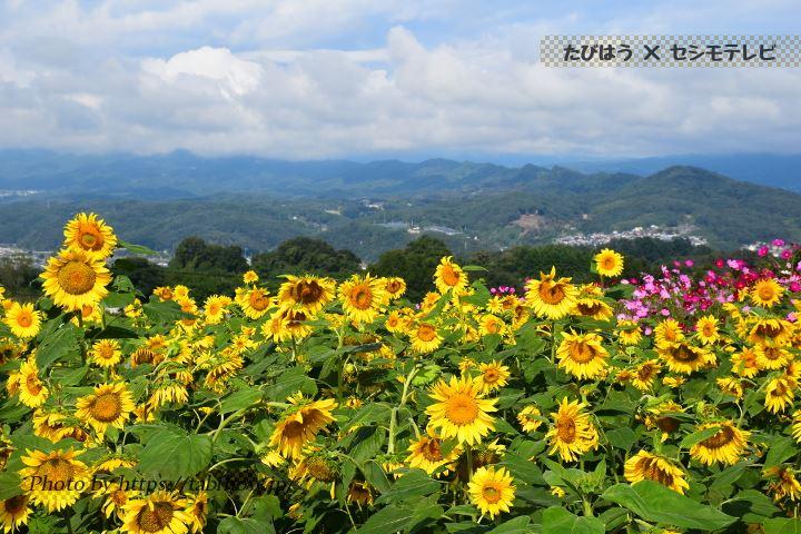 鼻高展望花の丘のひまわり