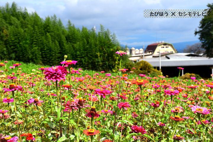 鼻高展望花の丘のジニア