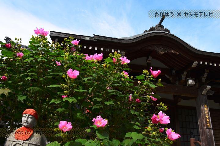 常楽寺のフヨウ