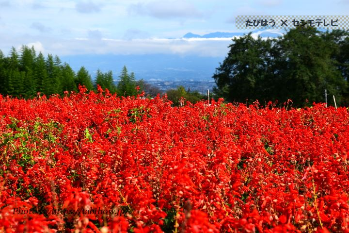 鼻高展望花の丘のサルビア