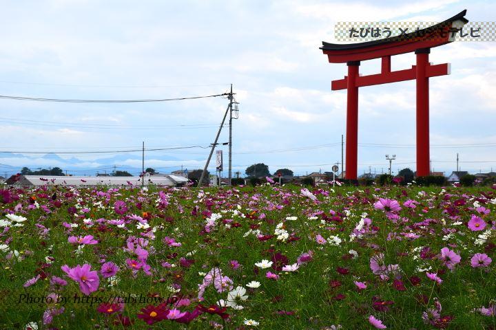 小泉稲荷神社のコスモス