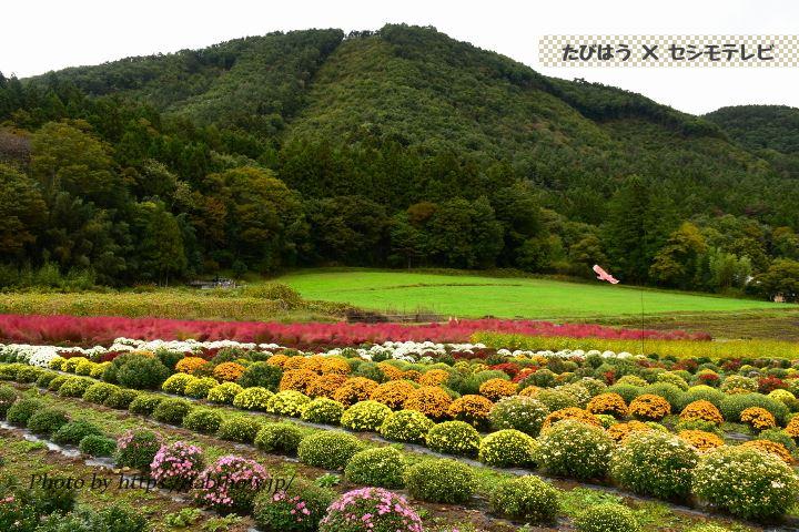 鼻高展望花の丘のマリーゴールド