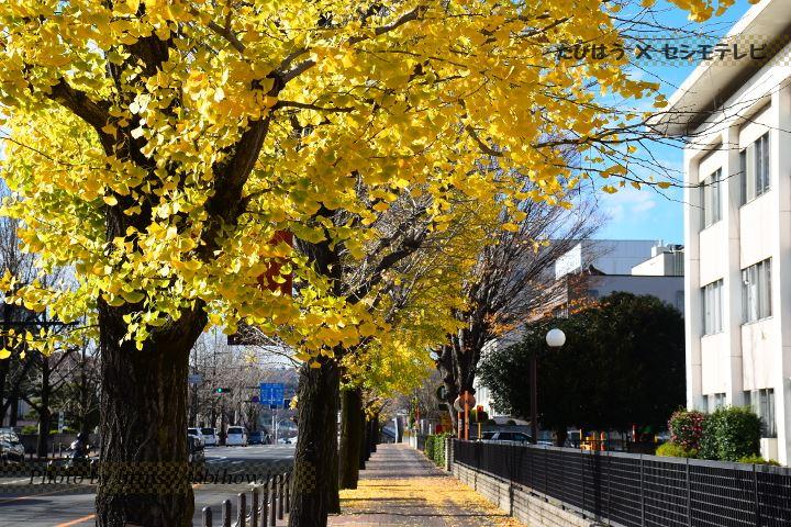 高崎音楽センター前のイチョウ