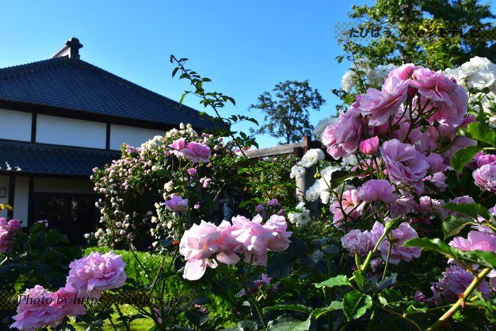 花久の里の春バラ