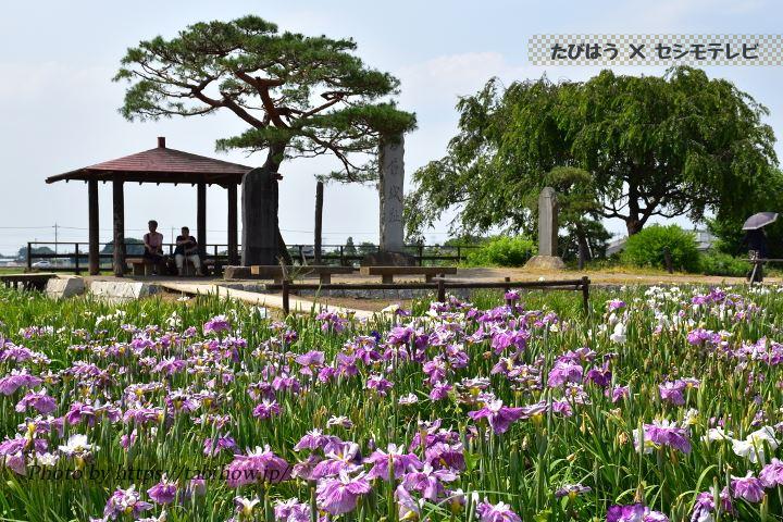 熊谷桜堤の花しょうぶ