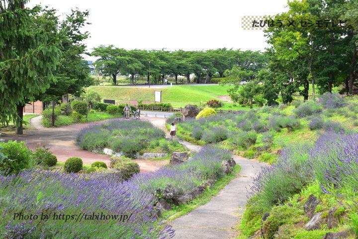 しらさぎ公園のラベンダー
