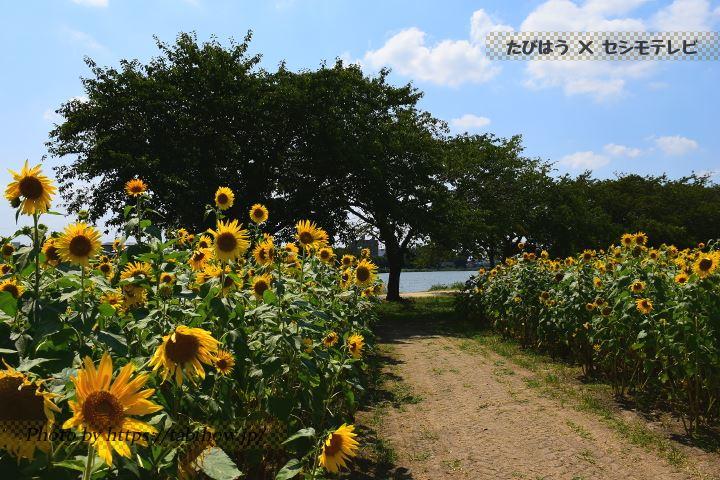 牛島古川公園Ⅱ期のひまわり