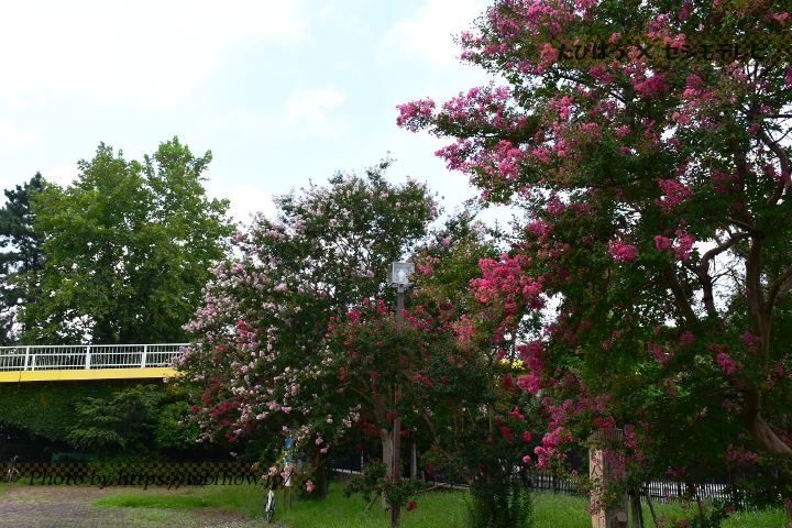 大宮公園のサルスベリ