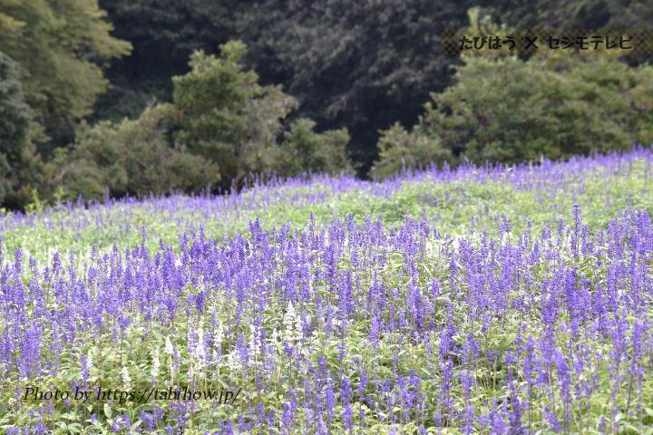 国営武蔵丘陵森林公園のサルビア