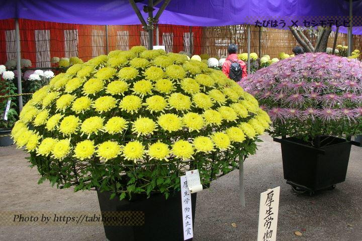 喜多院の菊
