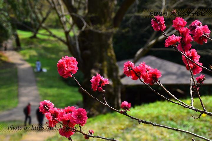 佐倉城址公園の桃