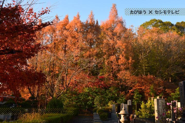 市川霊園のメタセコイア