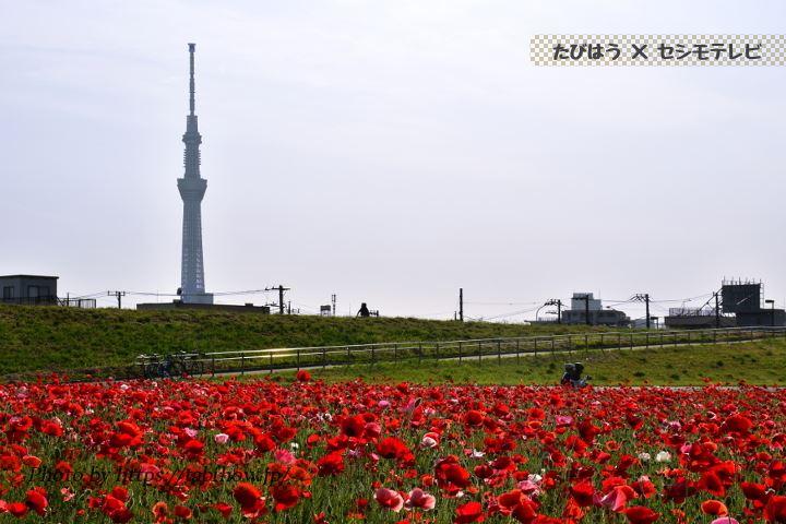 平井運動公園のポピー