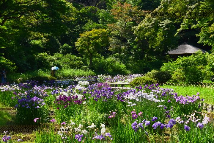 水元公園の花しょうぶ