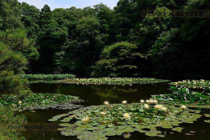小石川後楽園のスイレン