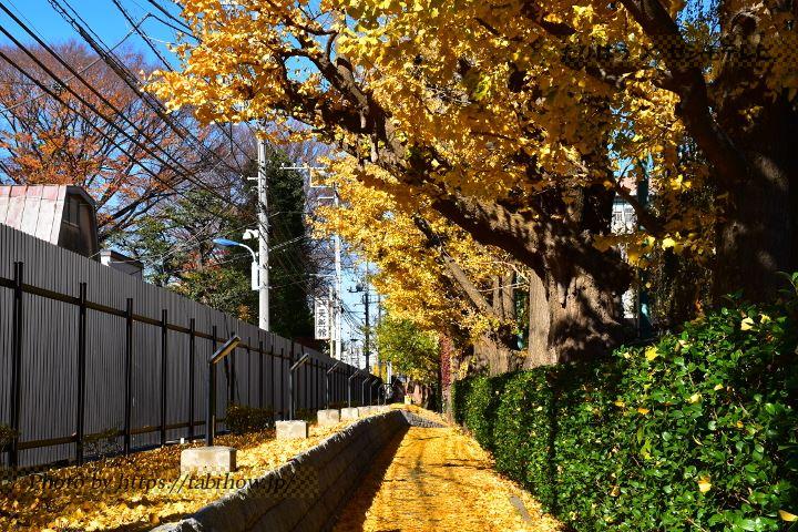 東京大学のイチョウ